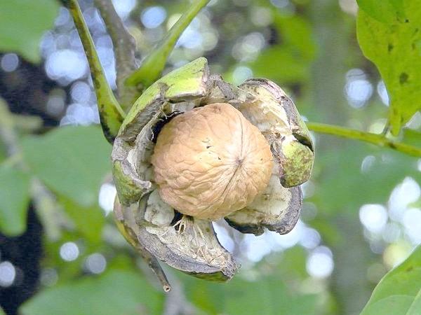 Сорт Juglandeae angulosa - Яглиджевюс