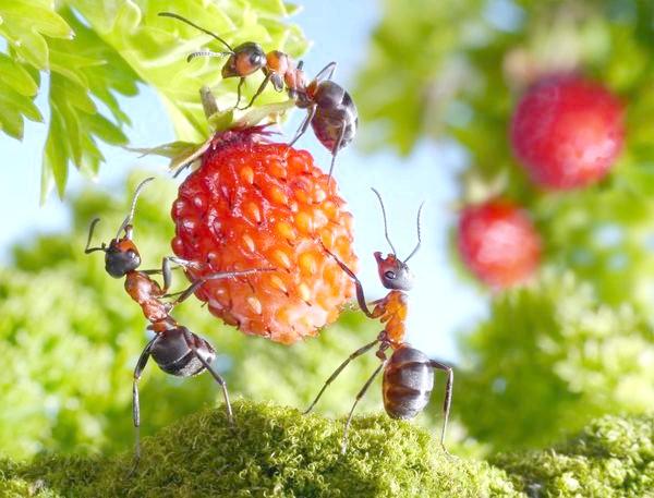 Фото - Гуманні методи боротьби з мурахами на дачній ділянці