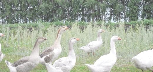 Гуси йдуть на водойму, fermer.ru