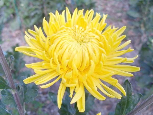 'Creamiest Yellow'