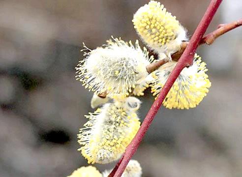 Верба козяча, цвітіння, S. caprea f. pendula