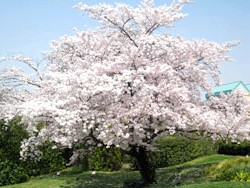Сакура - символ Японії