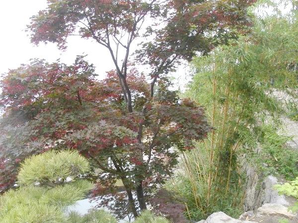 Золотистий бамбук, краснолістний клен віяловий