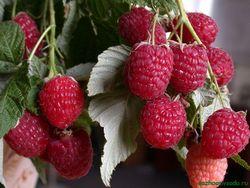До зими обробити і добре удобрити грунт, запорука високого врожаю