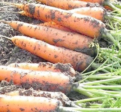 Фото - Як зберігати моркву до нового врожаю