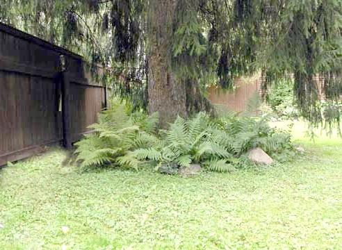Папороть під деревом