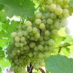 Фото - Як обрізати виноград восени і не зробити ряд помилок