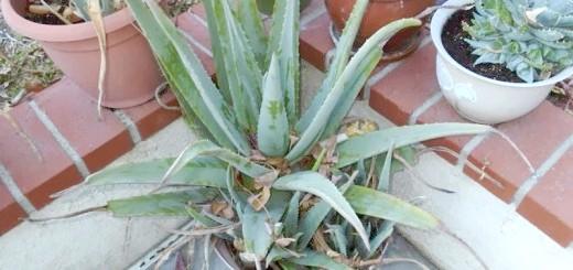 Якщо вазон малий для кореневої системи Алое - рослина може почати хворіти