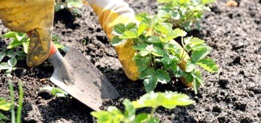 Процес посадки полуниці, myteplica.ru