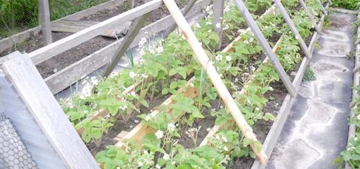 Фото полуниці на грядці-піраміді, o-gorod-ik.net