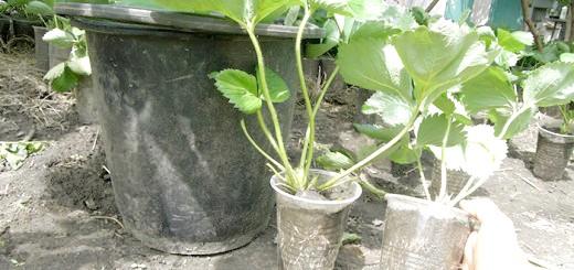 Фотографія саджанців полуниці в стаканчику, blogspot.com