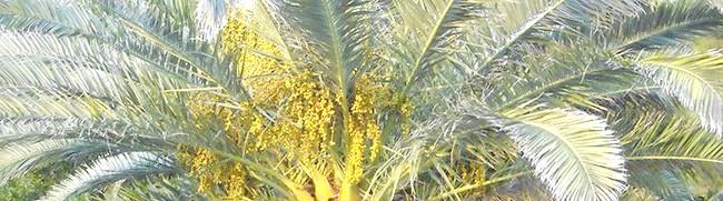 Фото - Як вирощується фінікова пальма дому та поради професіоналів з догляду за нею
