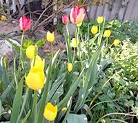 Фото - Як вирощувати тюльпани в саду. поради