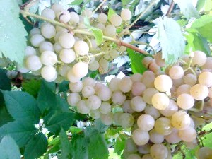 Фото - Як вирощувати виноград без особливих турбот.