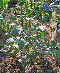 Фото - Як виростити сортову лохину
