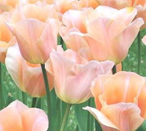 Фото - Які бувають тюльпани? частина 1: перші 8 класів тюльпанів