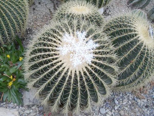 Цим кактусам 70 років