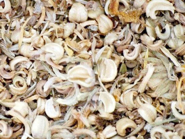 насіння календули
