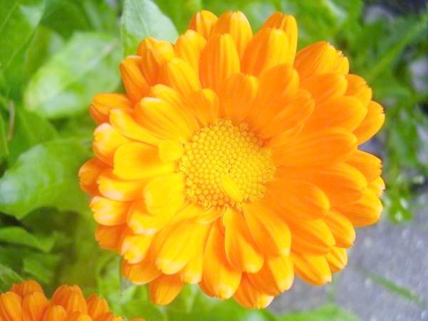 помаранчева календула