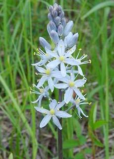Блакитні квіти камассии