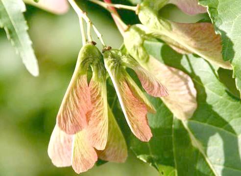 Клен, плоди, Acer