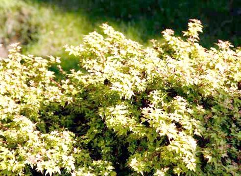 Клен долонеподібний, Acer palmatum, сорт Kotomaru
