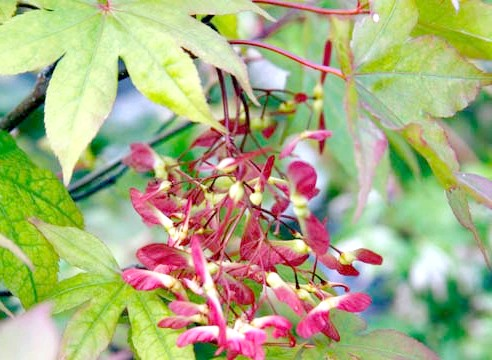 Клен долонеподібний, Acer palmatum, сорт Osakazuki