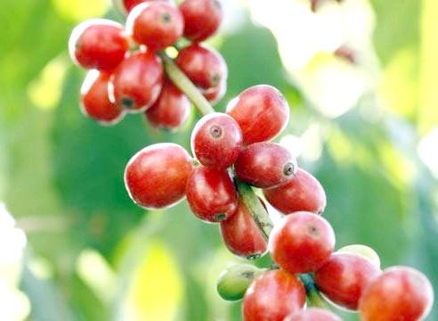 Кава, плоди, Coffea