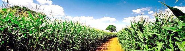 Кукурудзяне поле, rewalls.com