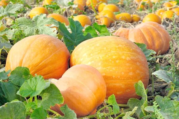 Термін дозрівання середньостиглих сортів гарбуза в середньому становить 110-120 днів