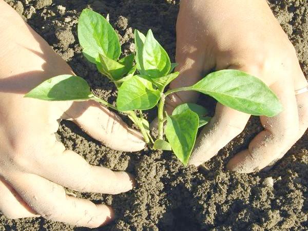 Фото - Коли висаджувати овочеву розсаду в грунт і в теплиці