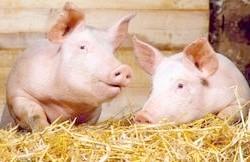 Фото - Комбікорм, біодобавки, премікси - відгодівля свиней для отримання якісної свинини