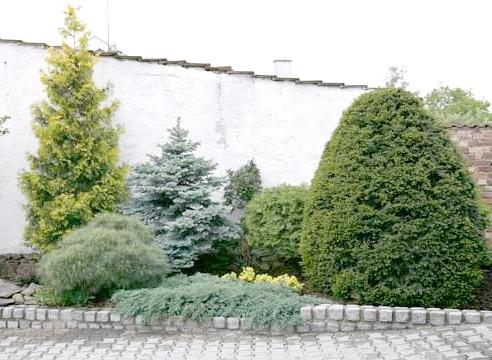 Посадка хвойних рослин