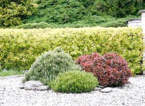 Хвойні в кам'янистому саду