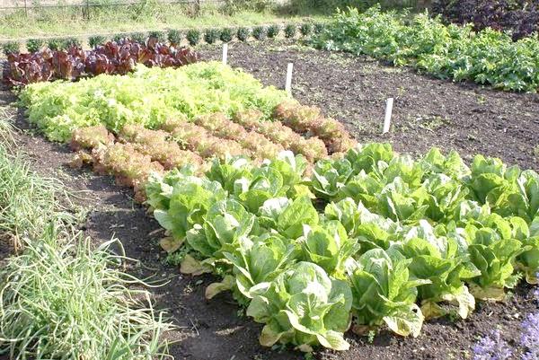 Ущільнена посадка овочів