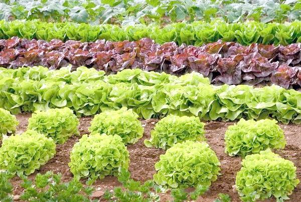 Дуже важливо правильно підбирати сорти для повторних посівів і посадок