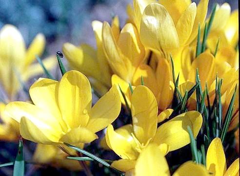 Крокус, цвітіння, Сrocus