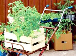 Великоплідні томати: з історії