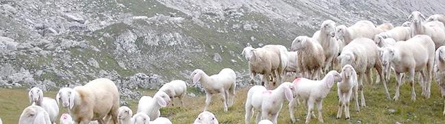 Вівці на тлі гір, listofimages.com