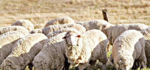 Тонкорунні вівці, o-moloke.ru