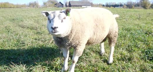 Тексельная порода овець, fermer.ru