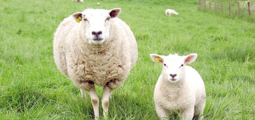 Тонкорунна вівця з овечкою, canbardakci.com