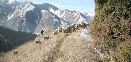 Вівці на пасовищі в Дагестані, flnka.ru