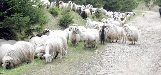 Вівці в Ставропольському краї, islamdag.ru