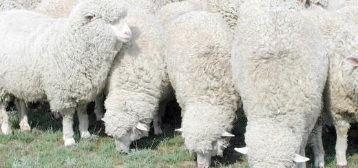 Вівці в Калмикії, ksh.volganet.ru