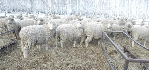 Вівці в Сибіру,   fermer.ru