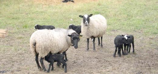 Тонкорунні вівці з овечками, navigator67.com