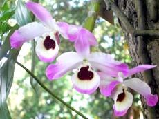 Фото - Легенди про орхідеї