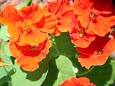 Фото - Листя і квітки настурції