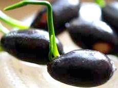 Ореховідний плоди лотоса